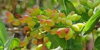 frutto-pistacchior